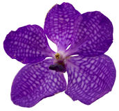 Violet orchid. On the white background Stock Photo