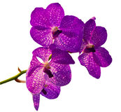 Violet orchid. On the white background Royalty Free Stock Photo