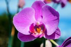 Violet Orchid 2 Imagens de Stock Royalty Free