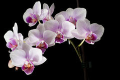 Violet orchid on black Stock Images
