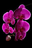 Violet orchid on a black Stock Photos