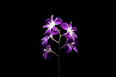 The  violet orchid Royalty Free Stock Images