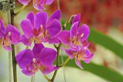 Violet Orchid blomma Royaltyfri Fotografi