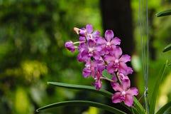 Violet Orchid blomma Royaltyfria Bilder