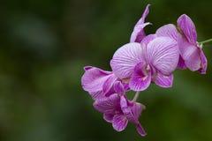 Violet Orchid Blooms Stockbilder