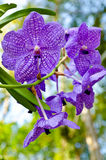 Violet orchid blossom Stock Photo