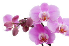 Violet orchid blossom closeup Royalty Free Stock Images