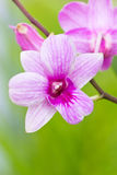 Violet orchid. Violet orchid branch on green background Stock Photo