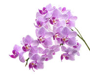 Violet orchid branch Stock Photos