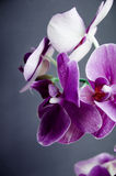 Violet orchid on a dark background Royalty Free Stock Photos
