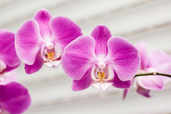Violet orchid flower Royalty Free Stock Image