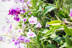 Violet orchid flower bloom in sunny day Royalty Free Stock Images