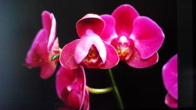 Purple orchid isolated on black. Violet orchid flower blossom on dark background stock photo