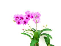 Violet orchid flower branch on white background Royalty Free Stock Image