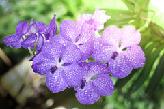 Violet orchid flower Stock Photography