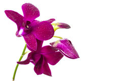 Violet orchid  flower Stock Photos