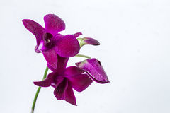 Violet orchid  flower Royalty Free Stock Images