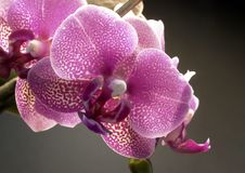 Violet orchid flower. Studio photography of a violet orchid flower in dark back stock photo