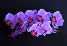 Violet orchid flowers on black. Branch of violet orchid flowers on black background Stock Photography