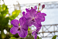 Violet orchid flowers Royalty Free Stock Photos