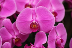 Violet Orchid flowers closeup Stock Images