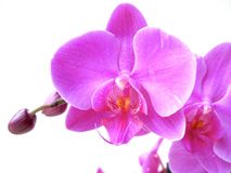 Violet orchid flowers. Closeup violet orchid flowers on white background Stock Photos