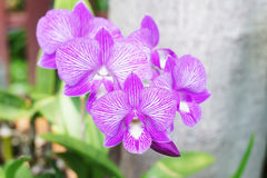 Violet orchid flowers Stock Photos