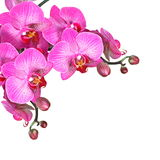 Violet orchid flowers, isolated Stock Photos