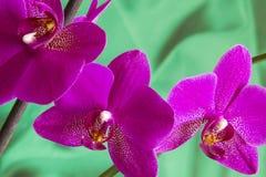 Violet Orchid Flowers med copyspace Royaltyfri Fotografi