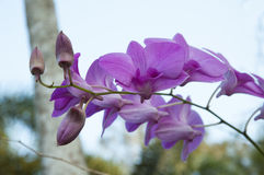 Violet orchid Royalty Free Stock Photography
