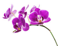 Violet orchid isolated on white background Royalty Free Stock Photo
