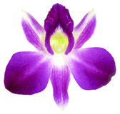 Violet orchid isolated on white background Royalty Free Stock Images