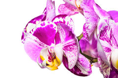 violet orchid isolated on white background Stock Image