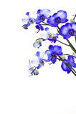 Violet orchid, phalaenopsis Royalty Free Stock Image