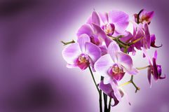 Violet orchid on purple bokeh background Stock Photo