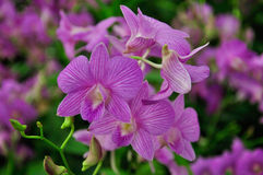 Violet Orchid in Thailand. Beautiful violet orchid in Thailand stock photo