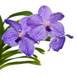Violet orchid Vanda isolated on white Royalty Free Stock Photography