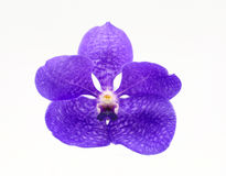 Violet orchid on white Royalty Free Stock Image