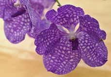 Violet orchidea,macro Stock Images