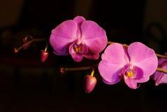 Violet orchids. Phalaenopsis flower on black royalty free stock image