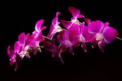 Violet orchids Stock Image