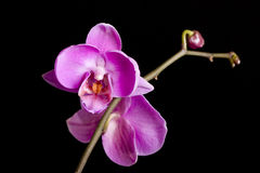 Violet orchids Royalty Free Stock Images