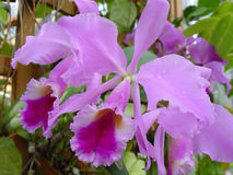 Violet orchids Royalty Free Stock Photos