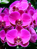 Violet orchids. Stock Photo