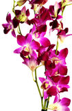 Violet orchids Stock Photography