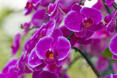 Violet Orchids Stock Photos