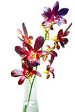 Violet orchids on white background Royalty Free Stock Photos