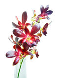 Violet orchids on white background Royalty Free Stock Images