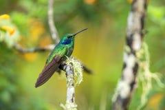 Violet-oreille verte se reposant sur la branche, colibri de forêt tropicale, Equateur, oiseau étant perché, oiseau minuscule se r photographie stock libre de droits