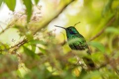 Violet-oreille verte se reposant sur la fleur, colibri de forêt tropicale, Pérou, oiseau étant perché, oiseau minuscule se reposa photos stock